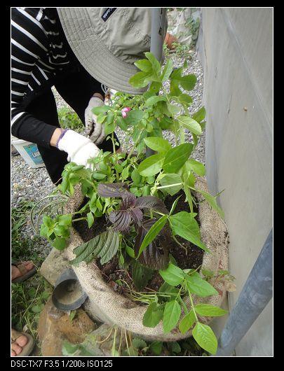 麻袋種植法3.jpg
