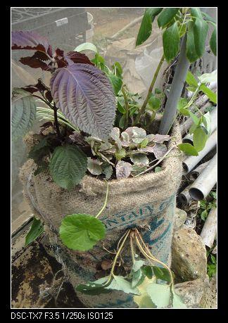 麻袋種植法2.jpg