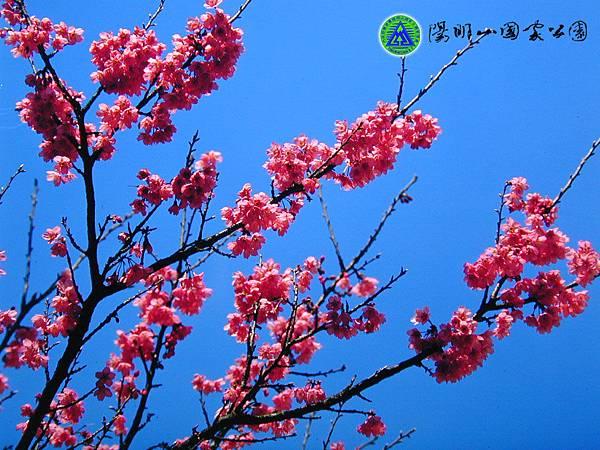 data_images-desktop-山櫻花.jpg