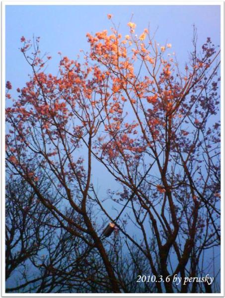 櫻花2.jpg