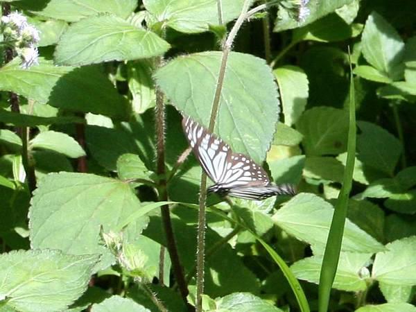 姬小紋青斑蝶