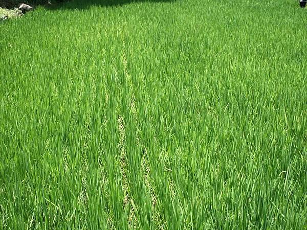 整片稻田 好漂亮 很綠
