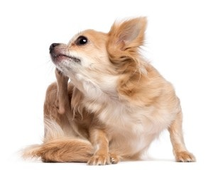 dog-skin33-300x240.jpg