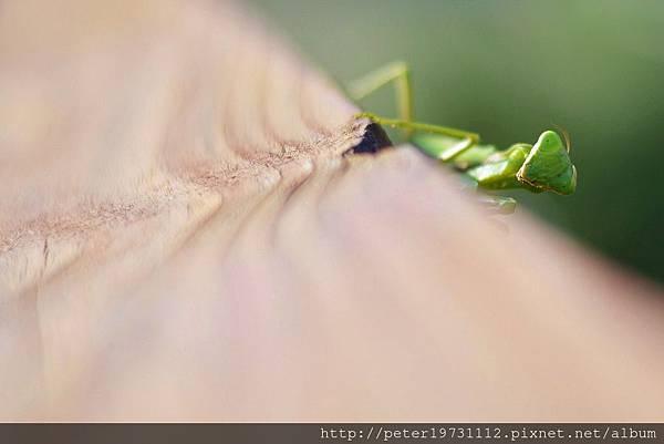 小螳螂.jpg