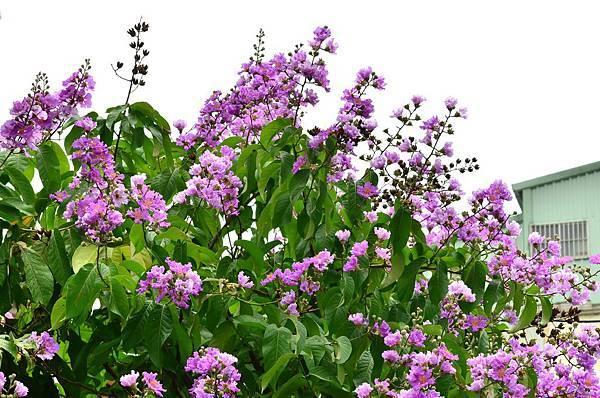 大花紫薇12