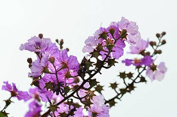大花紫薇13