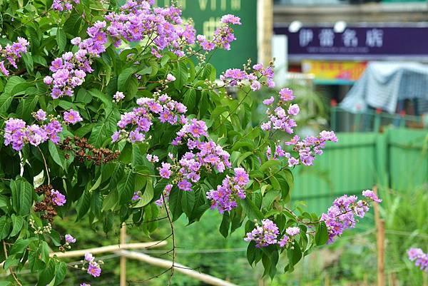 大花紫薇16