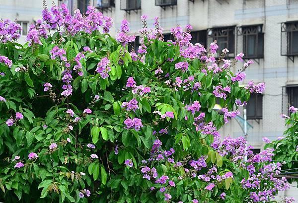 大花紫薇17