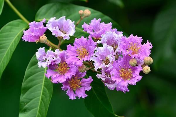 大花紫薇18