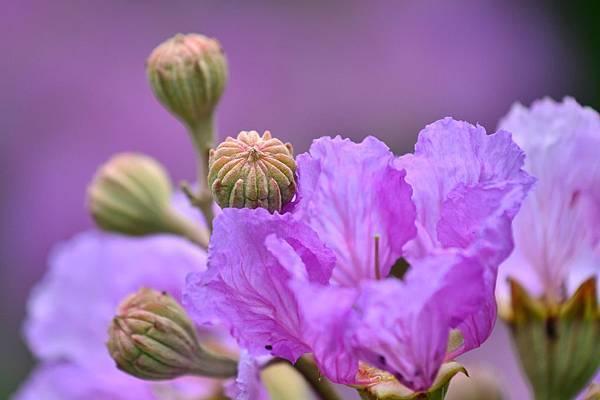 大花紫薇19