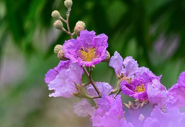 大花紫薇20