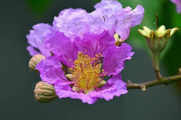 大花紫薇21