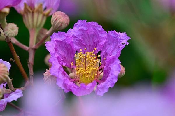 大花紫薇22