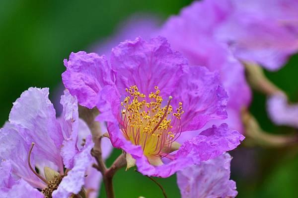 大花紫薇23