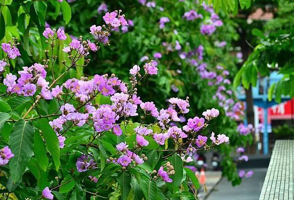 大花紫薇24