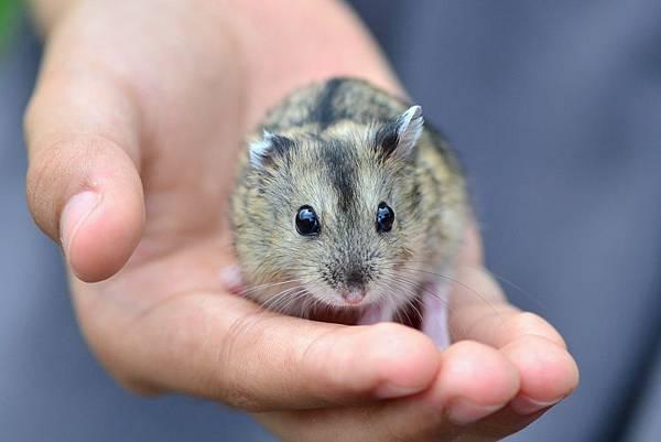 倉鼠-三線鼠 (11)