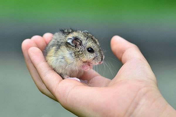 倉鼠-三線鼠 (13)