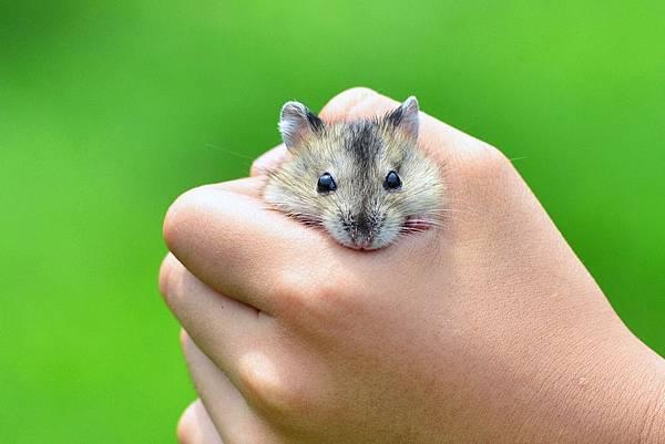倉鼠-三線鼠 (14)