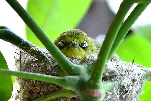 綠繡眼育鶵 (12)