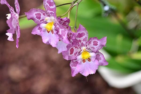 礁溪金車蘭花園 (1)