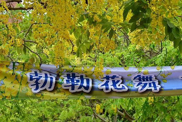 蘆洲仁愛社區阿勃勒 (2)