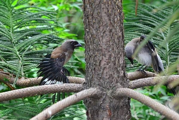 樹鵲寶寶 (4)