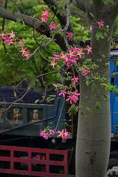 美人樹 (2)