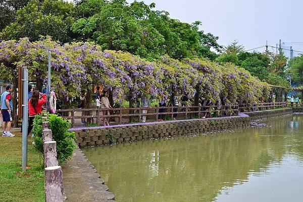 龜山大湖公園紫藤花開 (4)