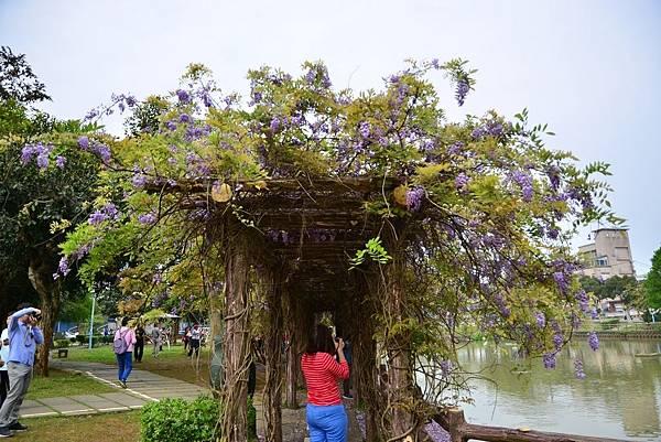 龜山大湖公園紫藤花開 (6)