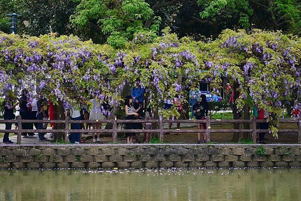 龜山大湖公園紫藤花開 (20)