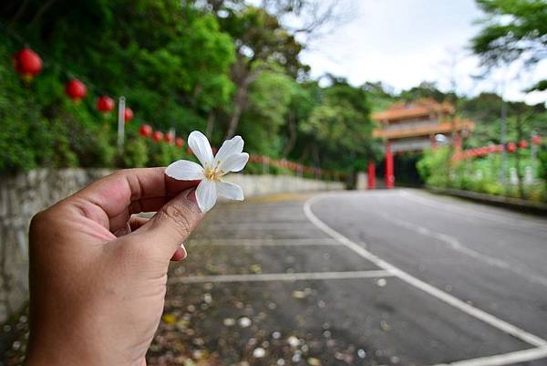 油桐花 (3)