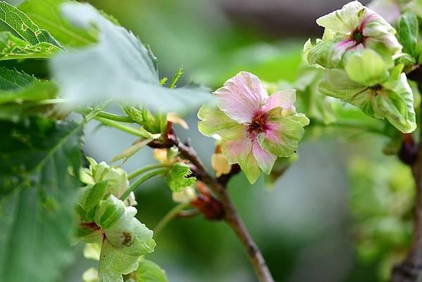 御衣黃櫻花 (8)