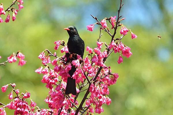 紅嘴黑鵯幼鳥