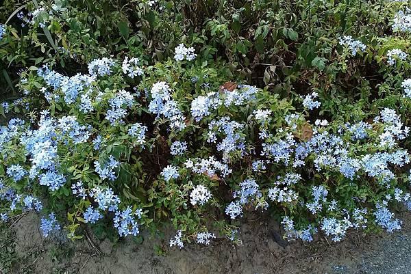 藍雪花 (1)