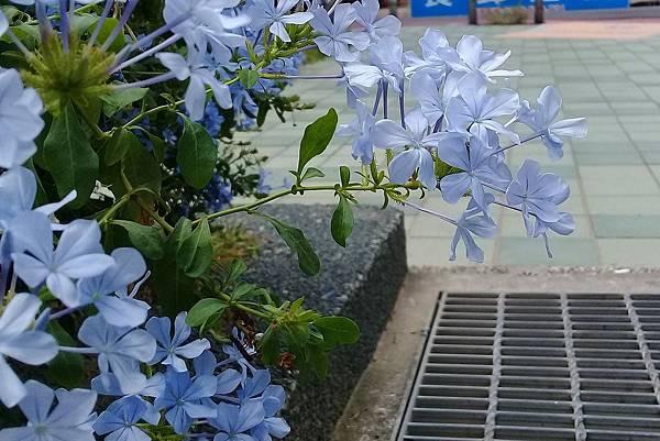藍雪花 (2)