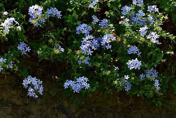 藍雪花 (10)