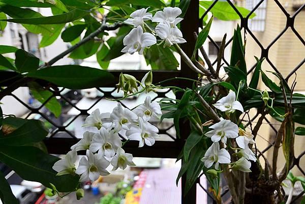 白花文心蘭 (1)