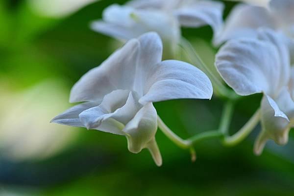 白花文心蘭 (9)