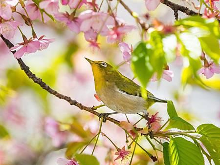 櫻花叢裡的小精靈.jpg
