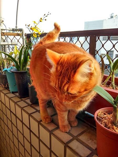 迎向朝陽的貓 (9).jpg