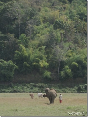 IMG_6142吃飽的大象們走回森林