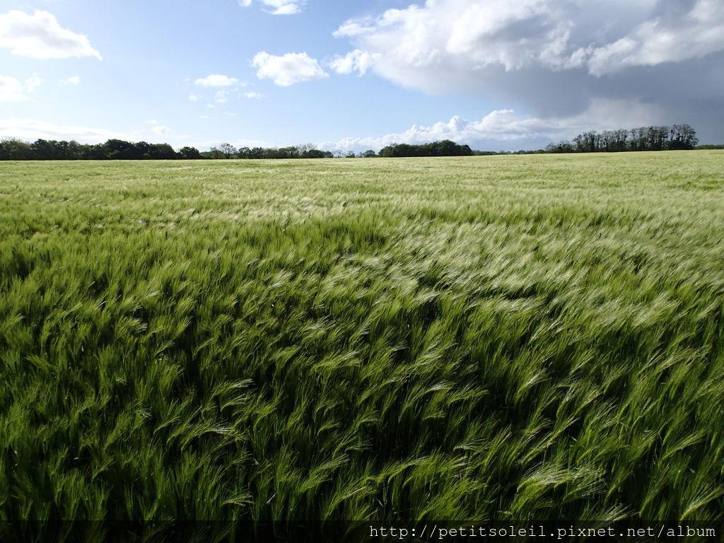 Auvers--吹風小麥田