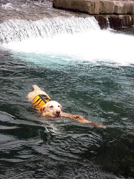 Ruby游泳撿大樹枝.JPG