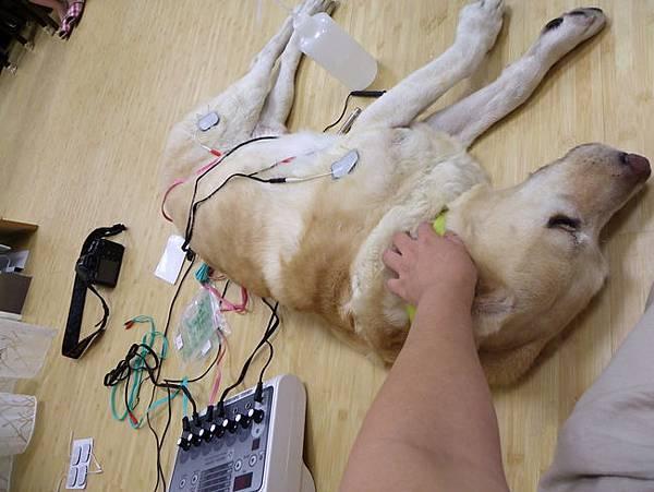 關大寶Ruby第一次電器針灸06.jpg