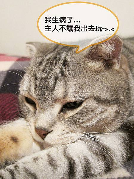 【斑斑貓家族日記】曼小尼生病記