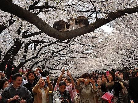 花見貓-2
