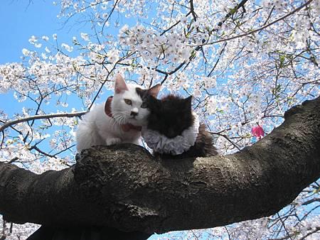 花見貓-4