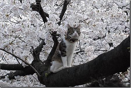 花見貓-5