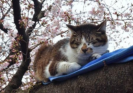 花見貓-3