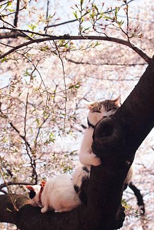 花見貓-6 nyocotan